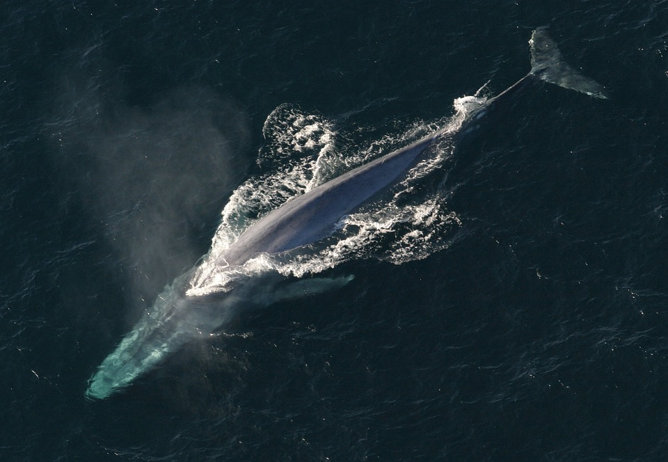 This European country plans to kill 2000 whales despite criticism and controversy